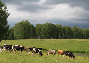Cow ordinary home Cattle grazing Cloven-hoofed ruminants