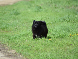 Black dog on the green grass Pedigree dog yard