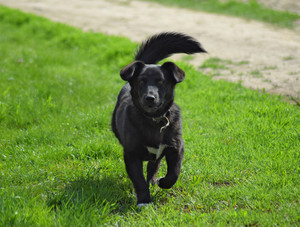 Black dog on the green grass Pedigree dog yard