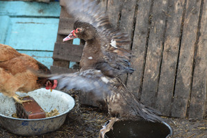 Musky duck bathes in a bucket of water The maintenance of musky ducks in a household