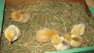 Little chickens Poultry in individual hen house