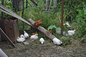 Hens in the yard of a hen house Cultivation of poultry