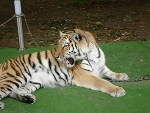 Tiger lying on the green carpet
