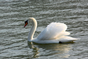 The swan floats on a reservoir