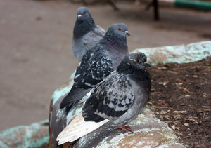 Common blue-gray doves in the city Bird