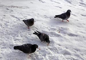 Common blue-gray doves in the city Bird