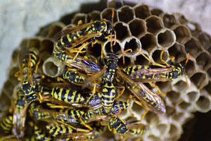 Wasps polist The nest of a family of wasps which is taken a close-up