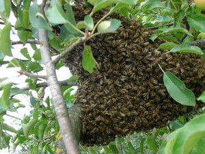 The family of bees gathers big swarm