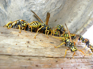 The wasps on a nest living on an attic of the private house