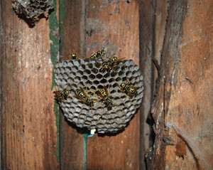 Wasp nest with wasps sitting on it Wasps polist The nest of a family of wasps which is taken a close-up