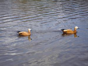 Wild mallard duck in a pond