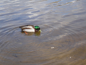 Wild mallard duck in a pond