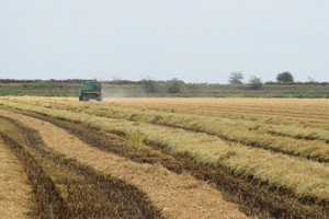 Rice harvesting by the combine. autumn harvesting on fields.
