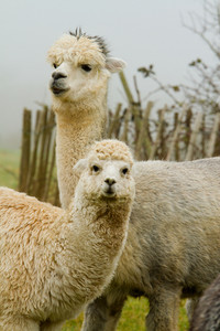 Mother and baby Alpaca like a small llama their wool is used for making knitted and woven items