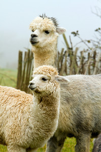 Mother and baby Alpacas like llamas
