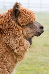 Hairy brown Alpaca with very long coat in profile