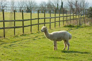 Farm field and Alpaca South American camelid resembles small llama