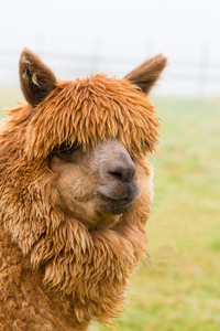 Hairy brown Alpaca with very long coat turned to look at camera