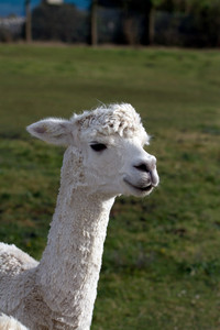 Alpaca portrait of this beautiful cute animal from South America