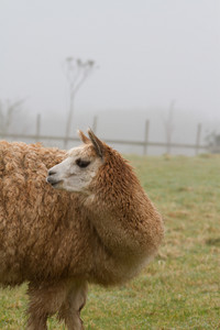 Hairy Alpaca looking to the rear with long neck