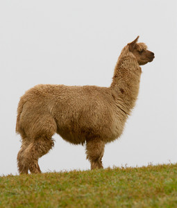 Alpaca with hairy long coat on the horizon