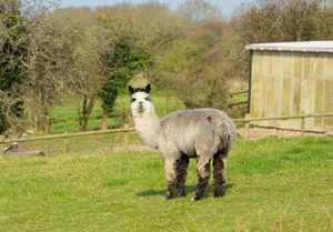 Male Alpaca gray in colour looking to camera