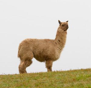 Alpaca with hairy long coat on the horizon head turned