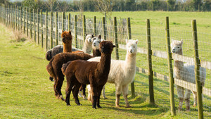 Group of Alpacas by a fence brown and white
