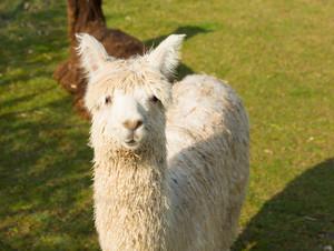 Hairy white alpaca portrait