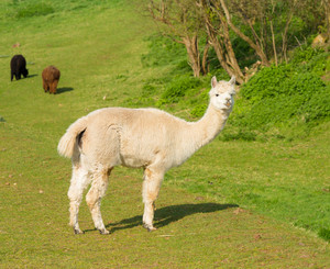 Hairy white alpaca full body view