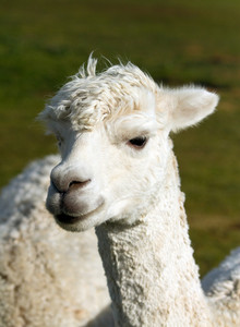 Alpaca face and neck white like llama