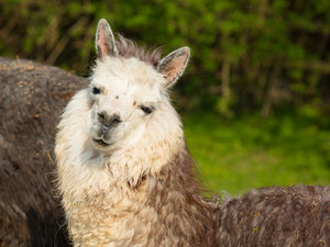 Alpaca cute animal with smiley face against green background