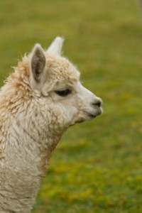 Beautiful Alpaca profile resembling a small llama