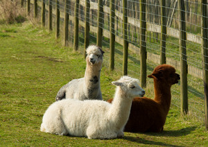 Three Alpacas resting by a fence brown and white
