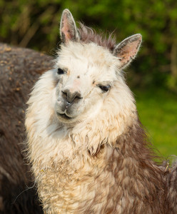 Alpaca cute animal with smiley face portrait