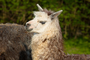Alpaca cute animal with smiley face and pricked up ears