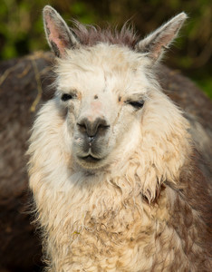 Alpaca animal in portrait with hairy neck and ears