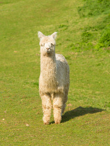 Cute white hairy Alpaca standing and looking at the camera