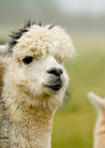 Alpaca portrait with white hairy head