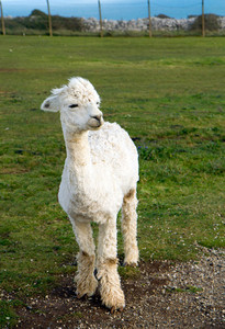 Cute Alpaca posing for the camera