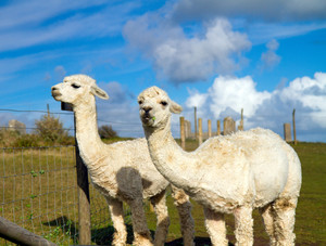 Two Alpacas with long necks like a small llama on the farm in summer