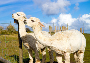 Two Alpacas with long necks like a small llama in summer