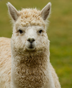 Beautiful Alpaca portrait