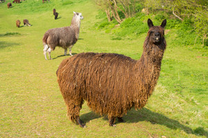 Hairy brown Alpaca with very long coat