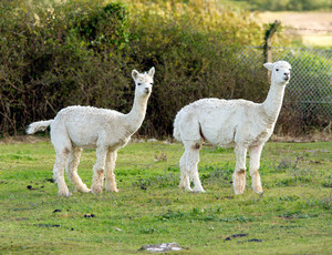 Two white Alpacas with shorn coats