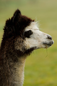 Alpaca profile photoograph white brown head and white face