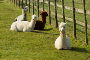 Alpaca group lying down and resting