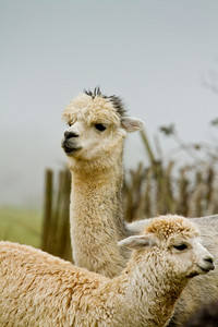 Mother and child Alpaca like llamas