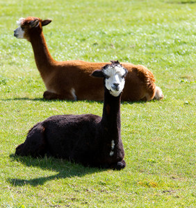 Two Alpacas light brown and dark brown in colour in a field