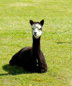 Dark brown Alpaca with white face resting